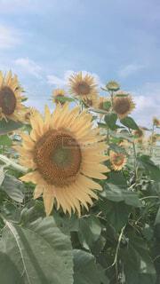 花,夏,ひまわり,ひまわり畑,景観,草木