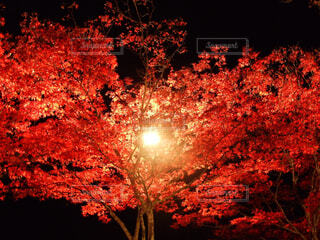 自然,秋,紅葉,屋外,夕暮れ,暗い,葉,樹木,明るい,景観,カエデ
