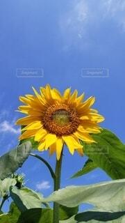 おおきな向日葵と空の写真・画像素材[4687465]