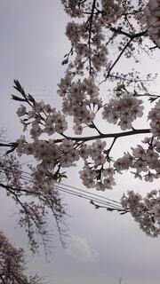 空,花,春,屋外,樹木,草木,さくら,ブルーム,ブロッサム