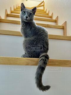 猫,動物,階段,座る,可愛い,グレー,見つめる,ロシアンブルー,雌猫