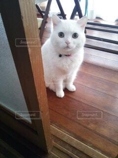 猫,動物,屋内,白,床,木目