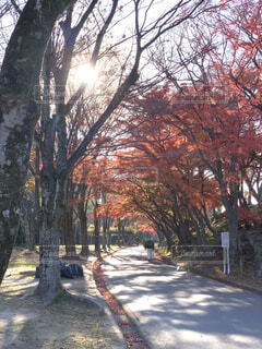 紅葉と木漏れ日。の写真・画像素材[4639029]