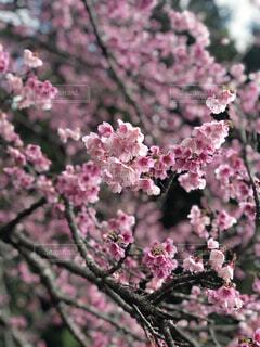 花,春,ピンク,樹木,草木,ブロッサム
