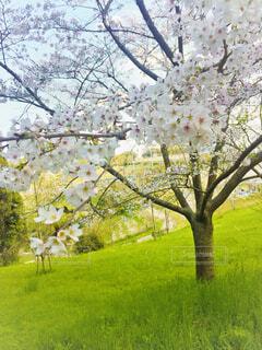 風景,花,春,桜,屋外,景色,草,樹木,草木,さくら
