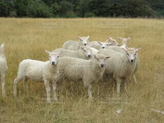 草原と羊の写真・画像素材[4646235]