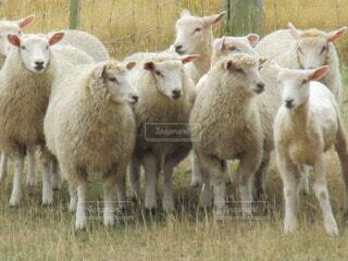 風景,動物,屋外,草原,羊,景色,草,立つ,家畜,ファーム,牧畜