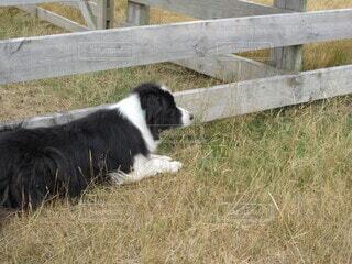 犬,風景,動物,屋外,草原,景色,草,立つ,家畜,ファーム,牧畜,シープドック