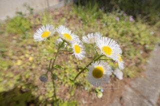 花,屋外,黄色,草木,タンポポ