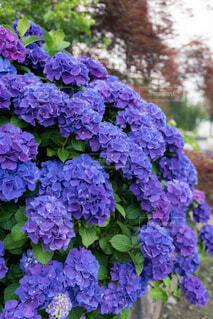 花,屋外,緑,きれい,綺麗,あじさい,紫,紫陽花,色,青紫,アジサイ,ガーデン,綺麗な色,フローラ