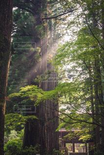 自然,風景,木,太陽,緑,幻想的,光,大木,樹木,光芒,兆し,フォトジェニック,差し込む光