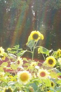 花,夏,ひまわり,虹,黄色,向日葵,草木,夏らしさ