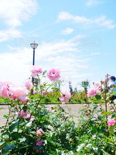 空,花,雲,バラ,薔薇,草木
