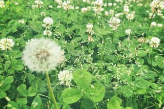 花,緑,草,野原,クローバー,たんぽぽ,シロツメクサ