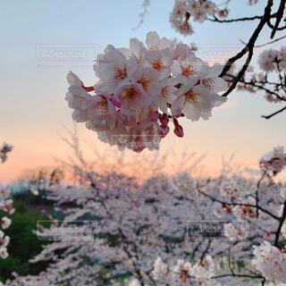空,花,屋外,樹木,草木,さくら,ブロッサム,夕桜