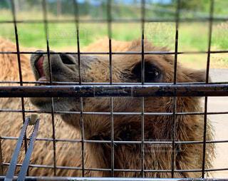 動物,屋外,草,外,ラクダ,動物園,餌やり,口