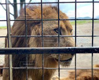 動物,屋外,草,外,動物園,ライオン,王,探す