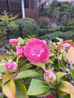 花,屋外,ピンク,バラ,花びら,椿,草木,フロリバンダ,ハイブリッドティーローズ