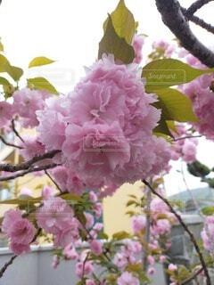花,春,桜,屋外,花束,草,八重桜,草木,ブルーム,ブロッサム