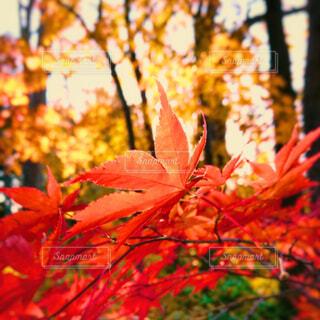 花,秋,屋外,葉,オレンジ,樹木,草木,カエデ