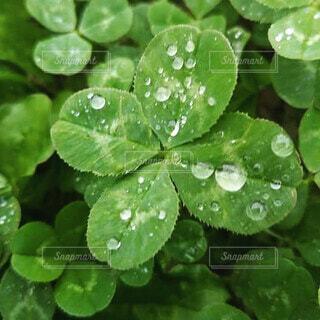 自然,水面,ドロップ,4つ葉,液滴