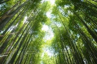 京都の竹林の写真・画像素材[4633006]