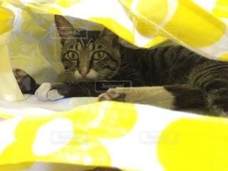 猫,動物,屋内,黄色,景色,袋