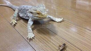 猫,動物,食事,屋内,かわいい,ペット,床,餌,木目,トカゲ,爬虫類,フトアゴヒゲトカゲ,食餌