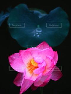 花,花びら,蓮,Lotus