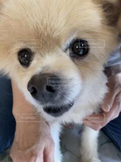 カメラを見ている犬の写真・画像素材[4654036]