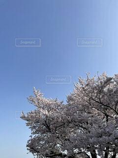 空,花,春,屋外,樹木,草木,桜の花,さくら,スタート,ブロッサム,心機一転