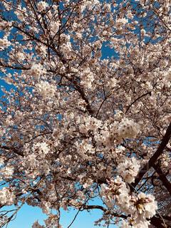花,春,桜,屋外,満開,樹木,入学,草木,桜の花,さくら,ブロッサム,満開の桜