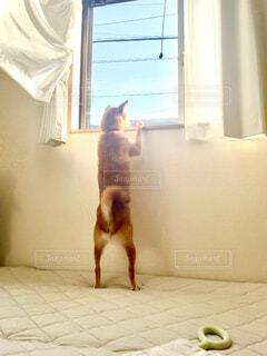 犬,柴犬,立つ犬,窓の外を見る犬