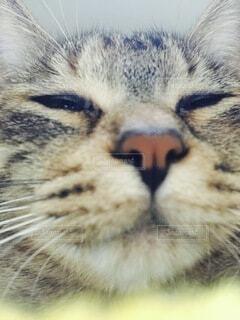猫,動物,ネコ科