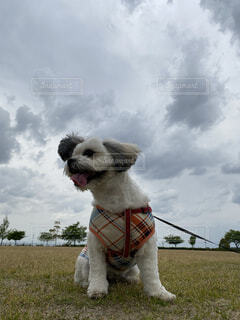 犬,空,動物,屋外,白,雲,草,ペット,シーズー