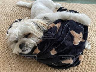 犬,動物,ペット,リラックス,癒し,シーズー,お昼寝,抱き枕