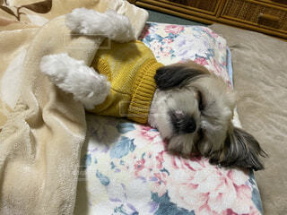 犬,ペット,眠る,シーズー,夢中,犬だよ,人間じゃないよ