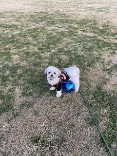 犬,散歩,ペット,ボール,シーズー