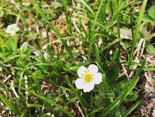 花,屋外,緑,草,草木,フローラ,ウィンドフラワー