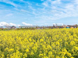フィールド内の黄色の花の写真・画像素材[1103607]