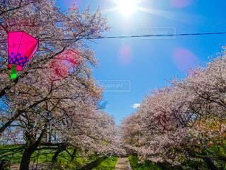 空,花,春,桜,屋外,樹木,祭り,桜の花,フォトジェニック,ブロッサム