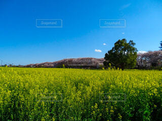 自然,風景,空,花,春,屋外,青い空,菜の花,景色,樹木,フォトジェニック