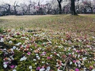 梅の花びらがまばらに散り落ちている芝生の写真・画像素材[4638538]