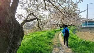 川沿いの桜並木の小道を歩く人の後ろ姿の写真・画像素材[4640970]