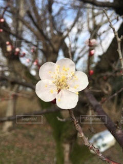 自然,花,春,屋外,梅,樹木,草木,うめ