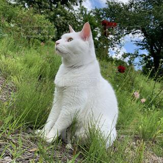 猫,動物,屋外,白,草,樹木,野原