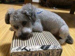 犬,動物,屋内,床,枕