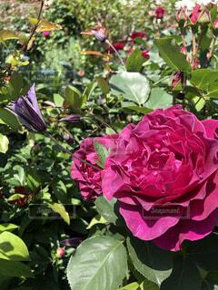 花,ピンク,花束,紫,バラ,花びら,薔薇,初夏,クレマチス,草木,ガーデン,フローラ,フロリバンダ