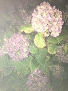 自然,花,夜,散歩,紫陽花,梅雨