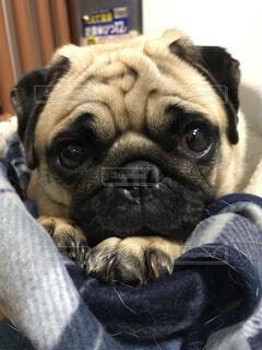 犬,パグ,動物,屋内,かわいい,愛犬